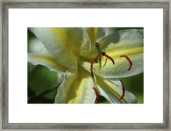 Asiatic Lily No 2 Framed Print