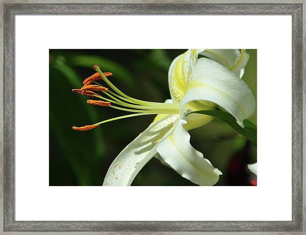 Asiatic Lily No 3 Framed Print