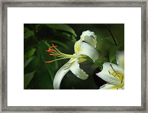 Asiatic Lily No 4 Framed Print