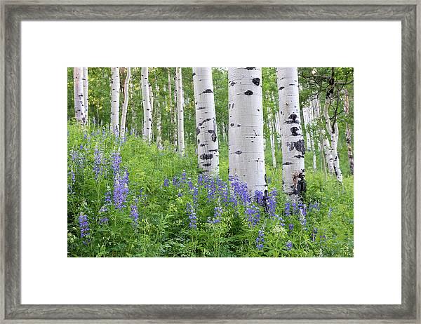 Aspen And Lupine Framed Print