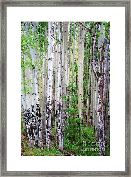 Aspen Grove In The White Mountains Framed Print