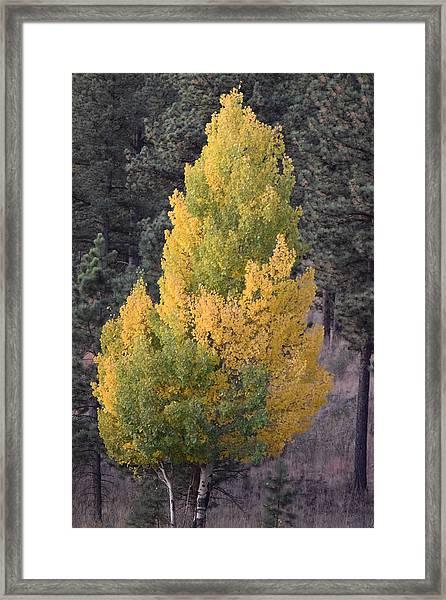Aspen Tree Fall Colors Co Framed Print