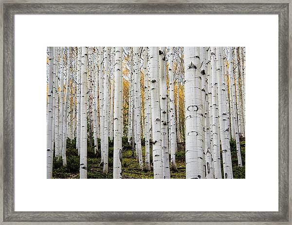 Aspens And Gold Framed Print