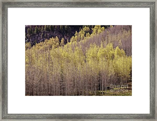 Aspens Bloom Framed Print
