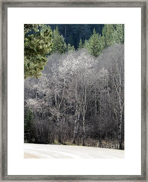 Aspens In Morning Light Framed Print