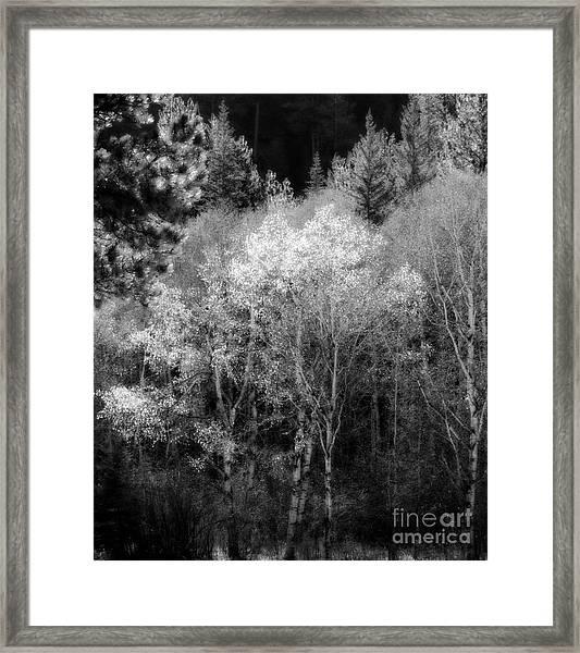 Aspens In Morning Light  For Traci Framed Print