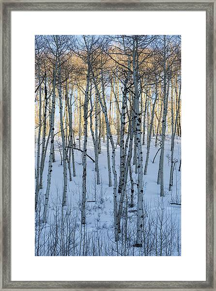 Aspens In Shadow And Light Framed Print