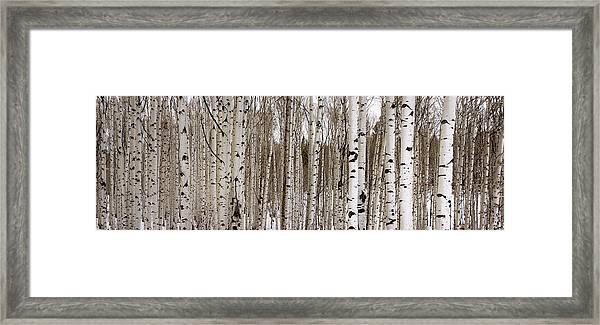 Aspens In Winter Panorama - Colorado Framed Print