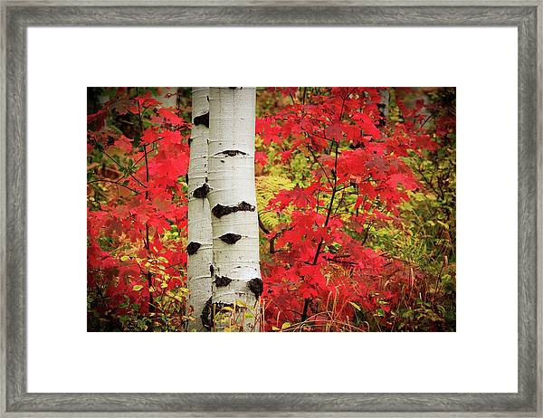 Aspens With Red Maple Framed Print