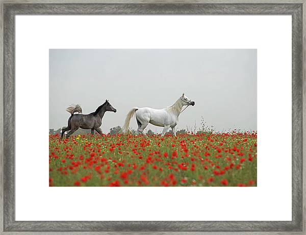 At The Poppies' Field... Framed Print