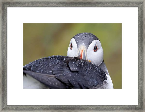Atlantic Puffin With Rain Drops Framed Print