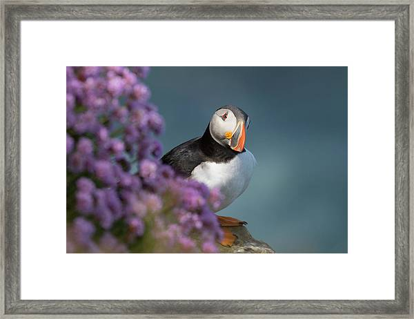 Atlantic Puffin - Scottish Highlands Framed Print