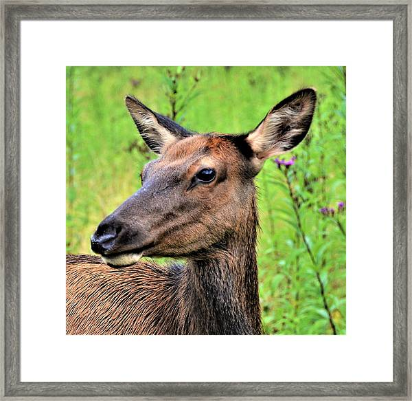 Attentive Yearling Framed Print