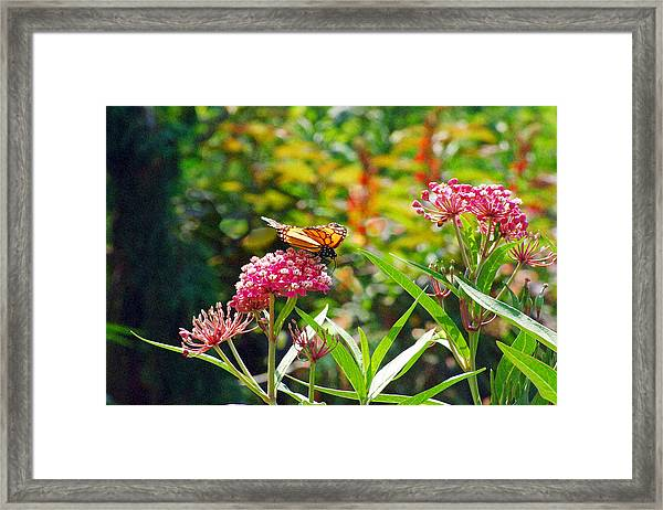 August Monarch Framed Print
