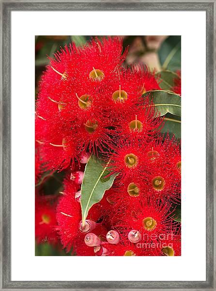 Australian Red Eucalyptus Flowers Framed Print
