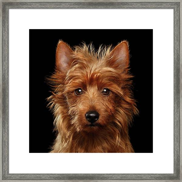 Australian Terrier Framed Print