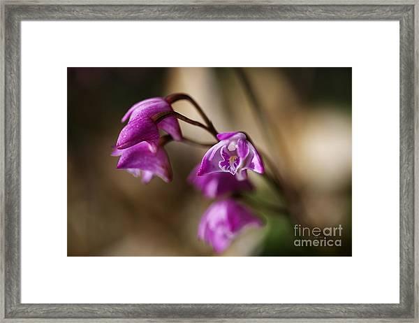 Australia's Native Orchid Small Dendrobium Framed Print