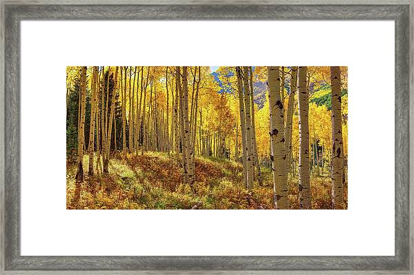Autumn Aspen Forest Aspen Colorado Panorama Framed Print