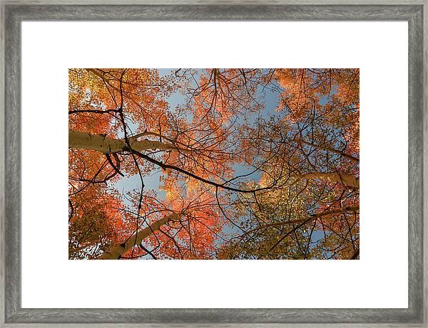 Autumn Aspens In The Sky Framed Print