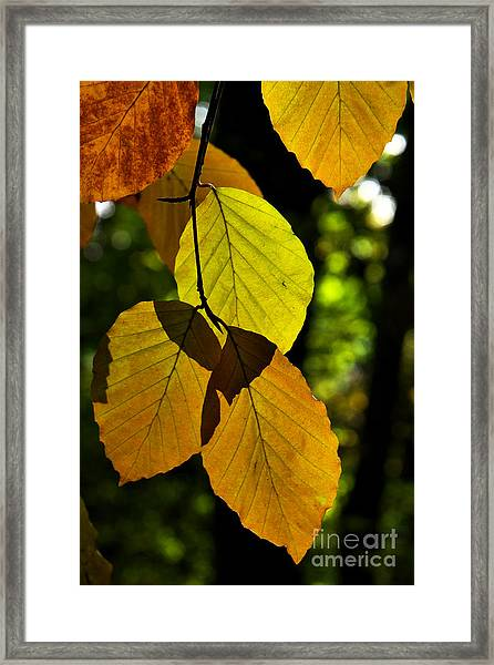 Autumn Beech Tree Leaves Framed Print