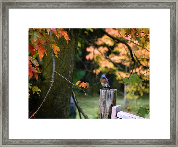 Autumn Blue Bird Framed Print