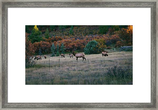 Autumn Bull Elk Framed Print