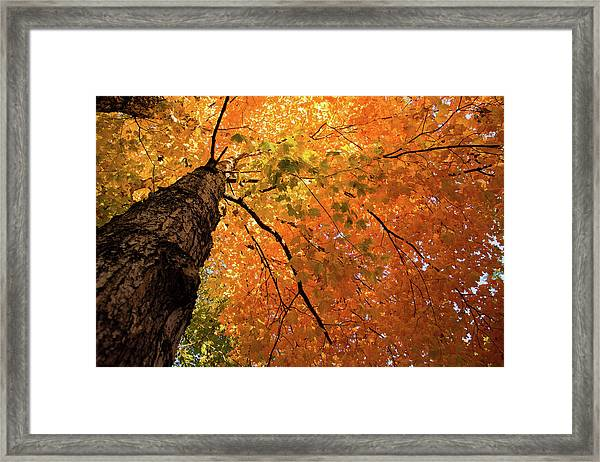 Autumn Canopy In Maine Framed Print