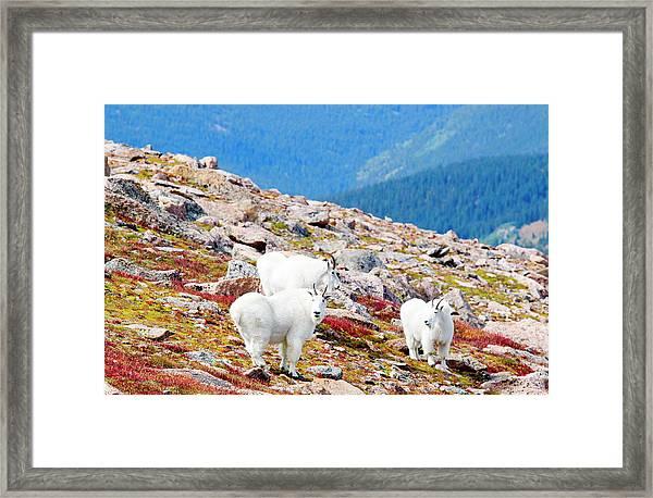Autumn Goats On Mount Bierstadt Framed Print