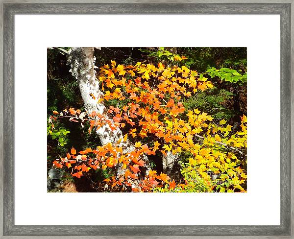 Framed Print featuring the photograph Autumn Maple by Barbara Von Pagel
