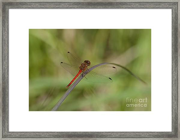 Autumn Meadowhawk Framed Print