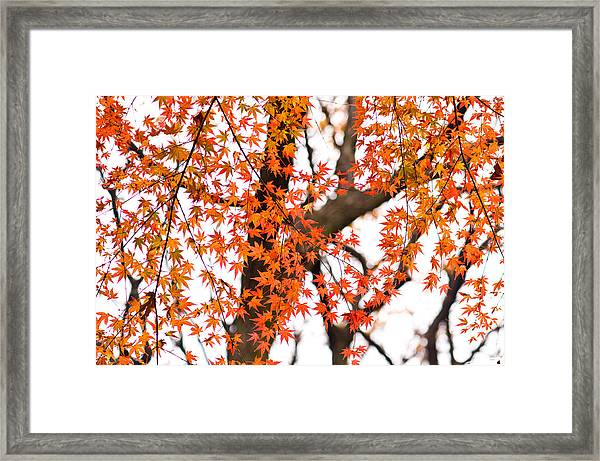 Autumn Red Leaves On A Tree   Framed Print