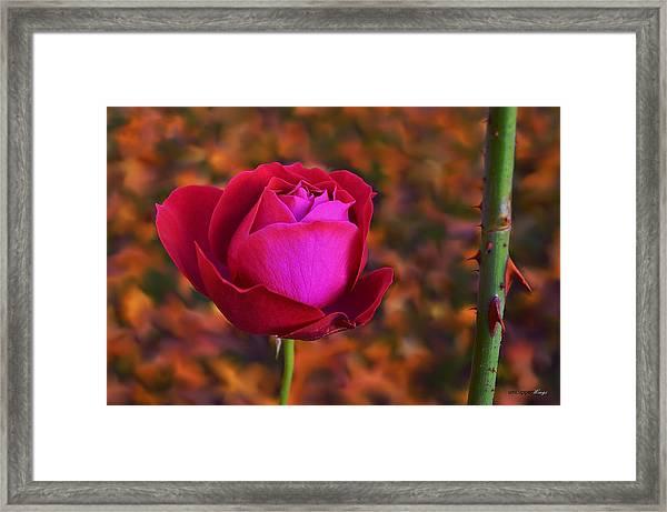 Autumn Rose Framed Print