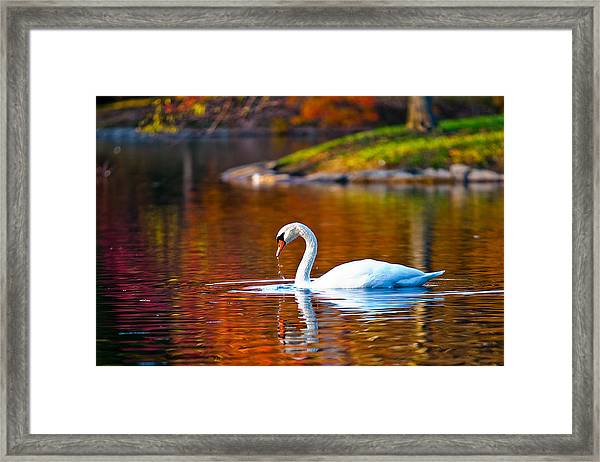 Autumn Swan Lake Framed Print
