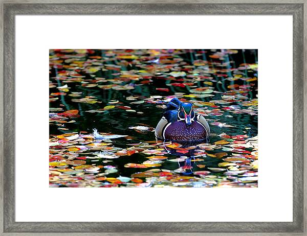 Autumn Wood Duck Framed Print