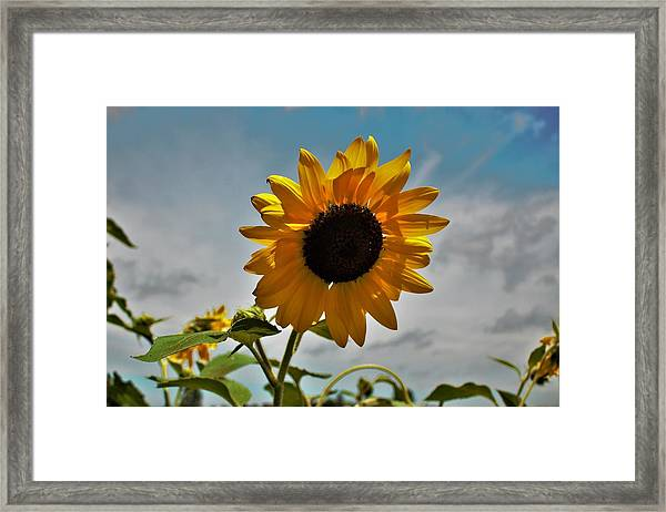 2001 - Awakening Sunflower Framed Print