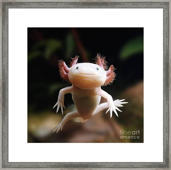 Axolotl Face Framed Print
