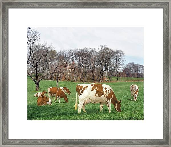 Ayrshire Cows 3rd Framed Print
