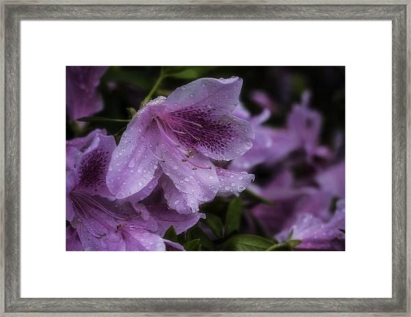 Azalea In Bloom Framed Print