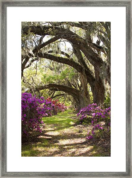 Azaleas And Live Oaks At Magnolia Plantation Gardens Framed Print