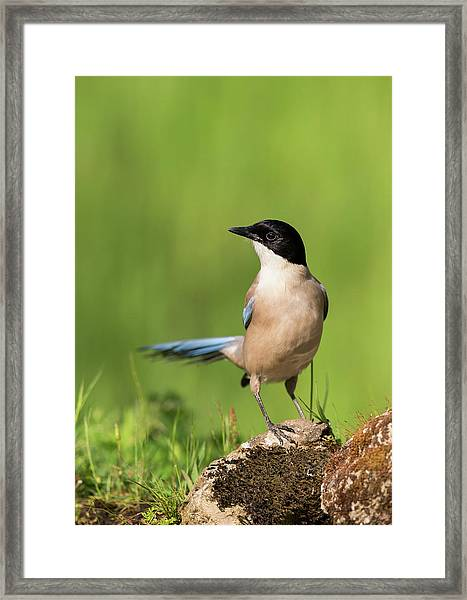 Azure-winged Magpie Framed Print