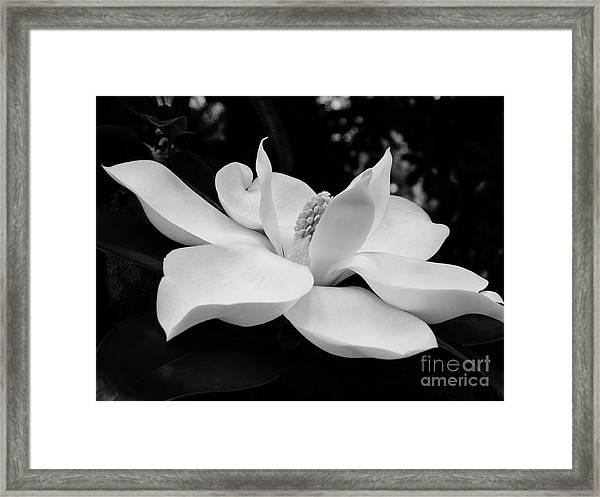 B W Magnolia Blossom Framed Print