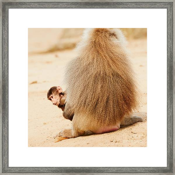 Baboon With A Baby  Framed Print