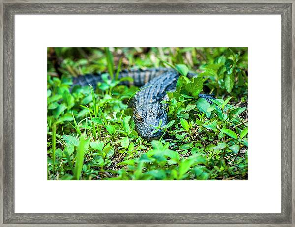 Baby Alligator Framed Print