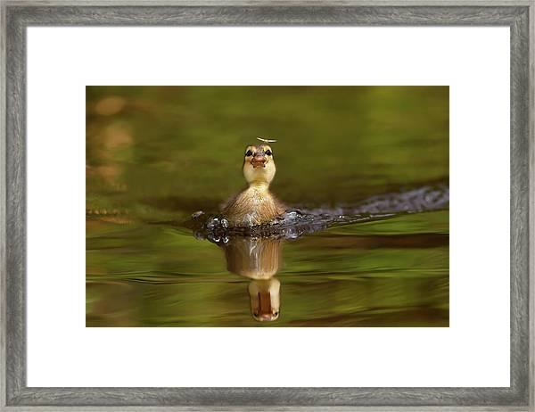 Baby Animal Series - Hunting Duckling Framed Print