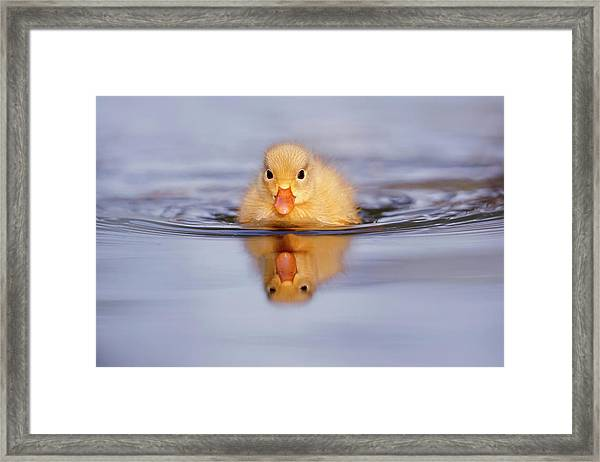 Baby Animals Series - Yellow Duckling Framed Print