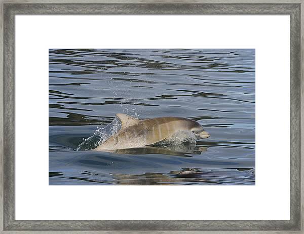 Baby Bottlenose Dolphin - Scotland  #35 Framed Print