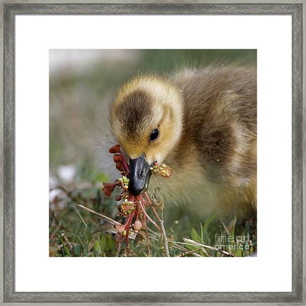 Baby Chick With Water Flowers Framed Print
