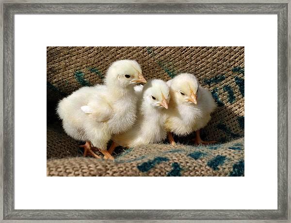 Baby Chicks Framed Print