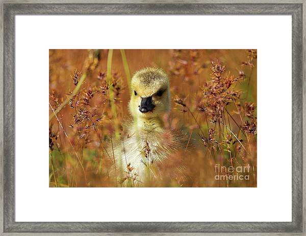 Baby Cuteness - Young Canada Goose Framed Print