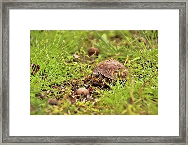 Baby Eastern Box Turtle Framed Print